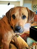 Black Mouth Cur Royalty Free Stock Photo