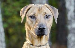 Black Mouth Cur Vizsla Hound mixed breed dog Stock Photo