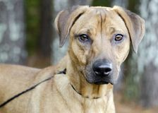 Black Mouth Cur Vizsla Hound mixed breed dog Royalty Free Stock Image