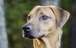 Black Mouth Cur Vizsla Hound mixed breed dog Stock Photos