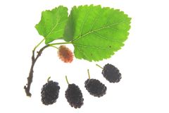 Black muberry (Morus nigra) Stock Photo
