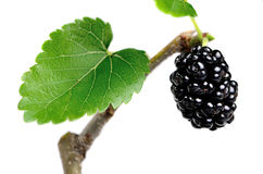 Black mulberries on a branch with leaves Stock Photos