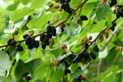 Black mulberry branch. Ripe black mulberry branch on the tree Stock Photos