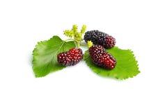 Black Mulberry Stock Image