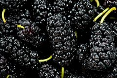 Black mulberry juicy sweet and tasty close-up shot.  Stock Images