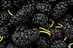 Black mulberry juicy sweet and tasty close-up shot.  Royalty Free Stock Image
