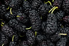 Black mulberry juicy sweet and tasty close-up shot.  Stock Image