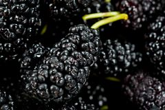 Black mulberry juicy sweet and tasty close-up shot.  Royalty Free Stock Photo