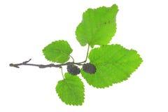 Black mulberry (Morus nigra) Stock Image