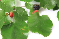 Black mulberry (Morus nigra) Royalty Free Stock Image