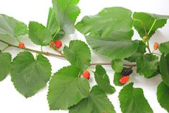 Black mulberry (Morus nigra) Stock Photography