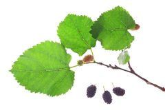 Black mulberry (Morus nigra) Stock Photo