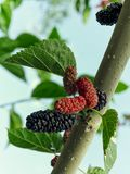 Black mulberry on tree. Close up of mulberry black and red berries on the tree. Green leaves. Semi-ripe. Natural fresh and healthy food royalty free stock images