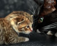 Black mum cat with little tabby kitten royalty free stock images