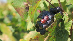 Black Muscat Grapes at Vineyard. In southern France stock footage