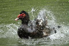 Black muscovy duck, cairina moschata Stock Images