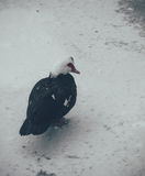 Black Muscovy duck on a frozen pond Stock Photos
