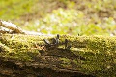Black mushroom-parasites Xylaria polymorpha with moss. Black mushroom-parasites Xylaria polymorpha on fallen tree. Dead man`s fingers mushrooms, saprobic fungus Royalty Free Stock Image