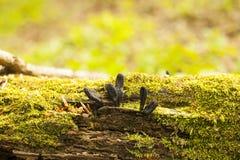 Black mushroom-parasites Xylaria polymorpha with moss. Black mushroom-parasites Xylaria polymorpha on fallen tree. Dead man`s fingers mushrooms, saprobic fungus Stock Images