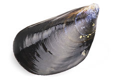 Black mussel. Close up on white background Royalty Free Stock Photos