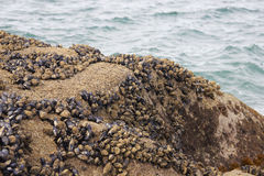 Black mussel on the rock. With sea view Royalty Free Stock Photos