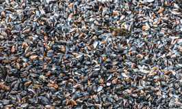 Black mussels Stock Photo