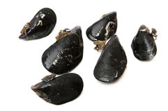 Black mussels Stock Images