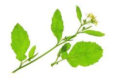 Black mustard (Brassica nigra) Stock Images