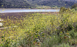 Black Mustard Weed in Southern California. A large patch of black mustard weed,.  Yellow wildflowers in Southern California Stock Image
