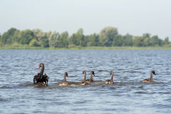 Black mute swans Stock Images