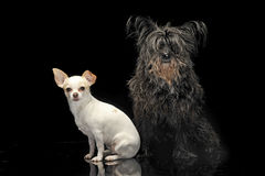 A black mutt and a Chihuahua in dark background. A black mutt and an Chihuahua in dark background Stock Photo