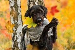 Black mutt dog posing in autumn park. Royalty Free Stock Photo