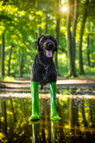 Black mutt dog in rain boots. Golden retriever dog in rain boots in forest puddle stock photo
