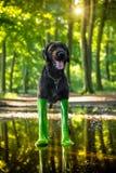 Black mutt dog in rain boots. Stock Photo