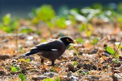 A black myna with yellow eye rim. And yellow claws stands on the grassland in the garden under the sun shine royalty free stock photography