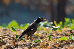 A black myna with yellow eye rim. And yellow claws stands on the grassland in the garden under the sun shine. The neck is streched stock photo
