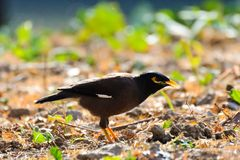 A black myna with yellow eye rim. And yellow claws stands on the grassland in the garden under the sun shine. The neck is streched royalty free stock image