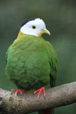 Black-naped fruit dove. The adult black-naped fruit dove sitting on the branch Stock Images