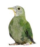 Black-naped Fruit Dove, Ptilinopus melanospilus Stock Photography