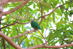 Black-naped Fruit Dove Royalty Free Stock Images