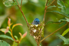 Black-naped monarch Stock Images