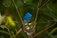 Black-naped monarch Stock Photography