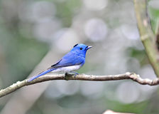 Black-naped Monarch bird Stock Images