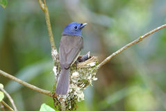 Black-naped Monarch Hypothymis azurea Stock Photo