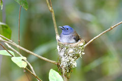 Black-naped Monarch Hypothymis azurea Royalty Free Stock Photography