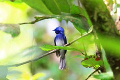 Black-naped Monarch Royalty Free Stock Photography