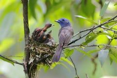 Black-naped Monarch Hypothymis azurea Nest Baby Feeding Stock Photo