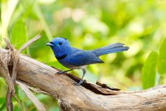 Black-naped monarch. Hypothymis azureamale a passerine bird member of flycatchers family, found in Southern and Southeast Asia stock photos