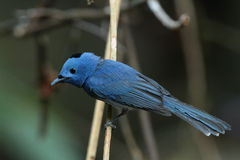 Black-naped Monarch(male) Stock Photos