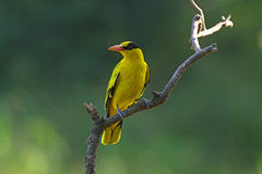 Black-naped Oriole. Is migratory bird in nature of Thailand Royalty Free Stock Images